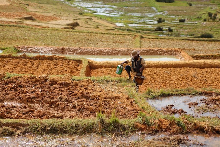 Rice fields IV