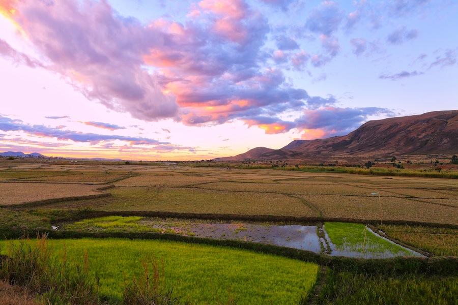 Rice fields XI