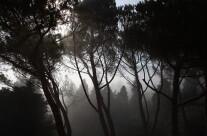 Pini nella nebbia